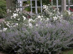 Roses and Catmint planted together. Could look really nice as a border along the back of the garage. Would be great near the patio for major flowers during summer BBQ's..