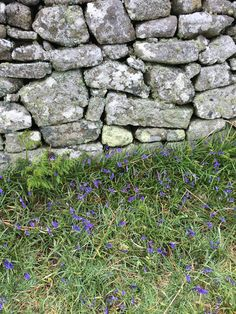 Lundy Island in late Spring - Half-Way Wall with bluebells