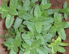 Un accorgimento per prevenire l'ernia del cavolo - Coltivare l'orto