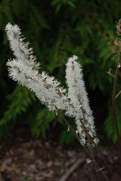 The perennial, black bugbane, variously listed as Cimicifuga simplex 'Atropurpurea' or Actaea simplex (Atropurpurea Group), can be grown in zones  3-9. Need information on caring for perennials? Here I review a book that may help: http://landscaping.about.com/od/booksonlandscaping/ss/Caring-for-Perennials-Book-Review.htm