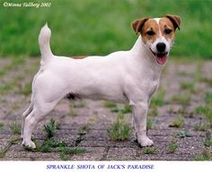 Jack Russell Terrier I love these dogs.