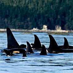 FAMILY:Orcas live in large family groups called pods, with multiple pods making up a population or community. The pods consist of multiple related matrilines, with each matriline often containing 3 or more generations. Each pod is led by the head female or matriach, as orca are a female dominated species