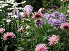 Pink Dahlias, Phlox and Daisies