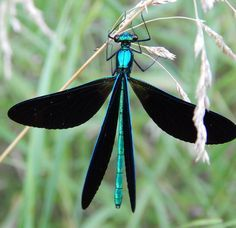 Demoiselle Damselfly by Melissa Benjamin - one of my totem animals
