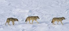 Northern Wisconsin congressman looks to remove gray wolves as endangered - U.S. Rep. Sean Duffy has introduced a plan that would let states manage gray wolf populations within their boundaries after two U.S. District Court rulings in 2014 put the animals under the protection of the federal Endangered Species Act.