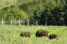 Romania, Cow, Animals, Animales, Animaux, Cattle, Animal, Animais, Stuffing