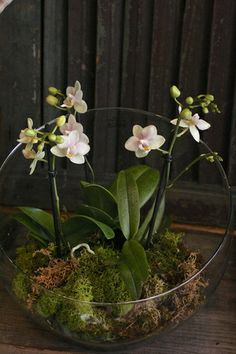 I have several of my rebloomed white Phalaenopsis orchids in a silver… Geat Idea! I have several of my rebloomed white Phalaenopsis orchids [. Phalaenopsis Orchid, Orchid Plants, Air Plants, Garden Plants, Indoor Plants, House Plants, Flowering Plants, Orchid Terrarium, Terrarium Plants