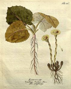 coltsfoot. Symbolises justice shall be done to you in the Victorian language of flowers.