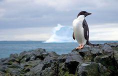 Adelie penguin in Antarctica -