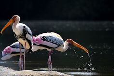 Drinking Painted Stork by vamsizzz, via Flickr