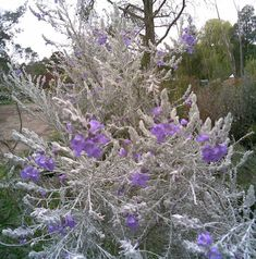Looking for Emu Bush, for your garden landscape? Find Eremophila nivea x caerulea Beryls Blue availability & prices online now. Australian Native Garden, Australian Plants, Free Plants, All Plants, Horticulture, Australian Wildflowers, Privacy Plants, Native Australians, Drought Tolerant Plants