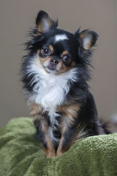 Long Haired #chihuahua                                                                                                                                                     More                                                                                                                                                                                 More