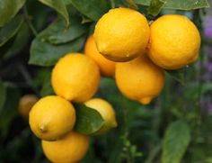 lemon trees in a conservatory conservatory pinterest trees conservatory and leaves. Black Bedroom Furniture Sets. Home Design Ideas