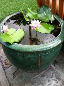 How to maintain a water lily bowl garden