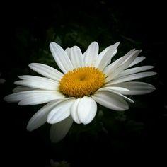 βℓαᏣƙ Ɓαcкgяσυη∂ (white daisy by Nor Wati) Happy Flowers, All Flowers, My Flower, White Flowers, Beautiful Flowers, Daisy Love, Daisy Girl, Daisy Daisy, Sunflowers And Daisies