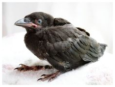 Baby crows and ravens start out with blue eyes and light-colored beaks/mouths which darken as they age.