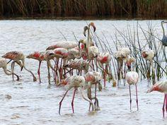 Flamingos Safari, Animals, Cape Town, Travel Advice, Animales, Animaux, Animal, Animais