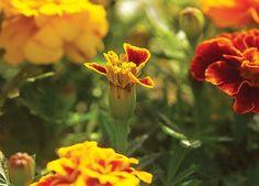 Tagetes. Cresce de 20 a 30 cm de altura. Floresce na primavera e verão. As flores parecem pequenos buquês. Tem cheiro característico que atua como repelente de formigas. Exige sol pleno, é tolerante ao frio e pode ser cultivada em todo o país.  (Foto: Acervo Casa e Jardim)