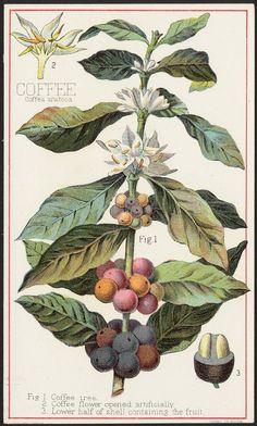 Botanical Illustration of Arabica
