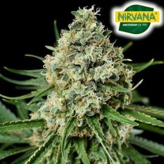Fruity bubblegum flavours with a large yield flowering in as little as 8-9 weeks. She is not for the light hearted and a must have for fans of devastatingly potent Cannabis. Autoflowering Seeds, Weed Seeds, Cannabis Seeds For Sale, Indica Strains, Seed Bank, Marijuana Plants, Green Business, Back Gardens, Bubbles
