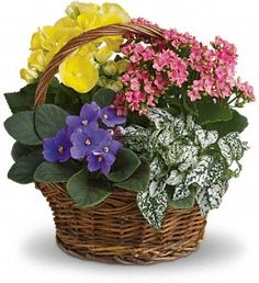 Sing a song of spring by sending this gorgeous basket full of spring's prettiest plants. Send someone special this sweet mix of bright colors and terrific textures.    A purple African violet, yellow begonia, pink kalanchoe and white hypoestes are arranged in a pretty round basket. It's blooming beautiful.