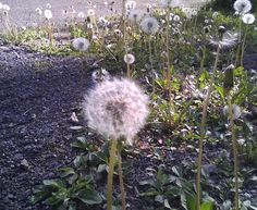 The Small Gems: When Dandelions Bid You to Make a Wish...