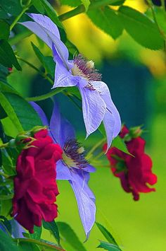 ~~Red Meets Lavender ~ clematis and roses by Byron Varvarigos~~