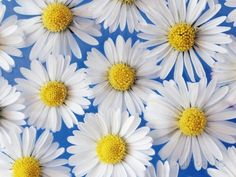 Daisy Blossoms Photographic Print by Frank Krahmer - by AllPosters.ie