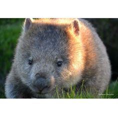 Happy little wombat at Narawntapu National Park. #wombat #tasmania #narawntapunationalpark #discovertasmania Image Credit: gui_whipschocolate