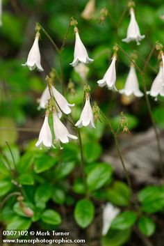 Linnaea borealis   twinflower   Wildflowers of the Pacific Northwest