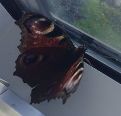 Butterfly butter-fly