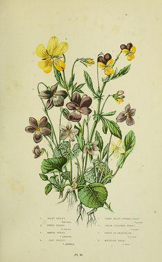 Violet botanical