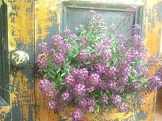 Purple flowers contrast well with the fading paintwork on the vertical garden