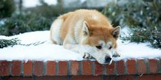 """This movie and story, Hachi or, Hachiko, is exactly why I want an Akita. Such a touching movie :""""( Hachiko Dog, Richard Gere, Akita Puppies, Akita Dog, Dogs And Puppies, Hachi A Dogs Tale, Elephant Man, Animals And Pets, Cutest Animals"""