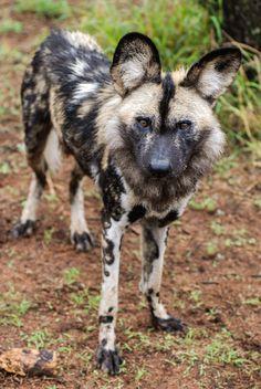 Free images african wild dog endangered species safari wild animal African Wild Dog, Wild Dogs, Media Images, Endangered Species, Free Stock Photos, Kangaroo, Safari, Asian Dating, Free Images