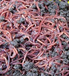 The Worm Farm - Redworms Eisenia Fetida Best Compost Bin, Red Wiggler Worms, Worm Beds, Red Wigglers, Red Worms, Compost Tumbler, How To Make Compost, Farm Lifestyle, Worm Farm