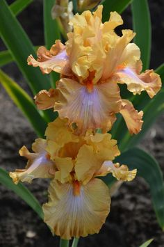 'Ambertime' (Blyth, 18 m Iris Flowers, Flowers Nature, Planting Flowers, Amazing Flowers, Colorful Flowers, Beautiful Flowers, Iris Garden, Fruit Plants, Bearded Iris