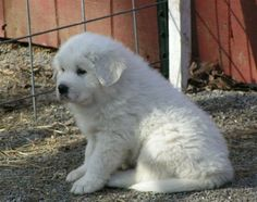 Great Pyrenees Puppy :)  It's so cute!!