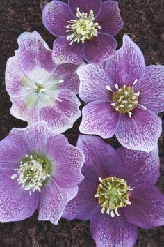 Helleborus x hybridus PDN Pink w/ White Edge 1 QT|Juniper Level Botanic Gdn, NC|