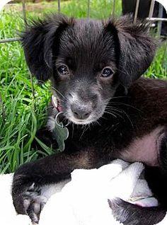 San Diego, CA Italian Greyhound/Spaniel (Unknown Type