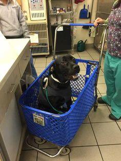 Luego de una cirugía este perro necesitaba una forma de moverse. Mira lo que hizo el hospital