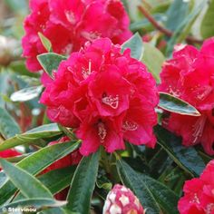 Rhododendron+arboreum+Rouge+-+Grand+Rhododendron