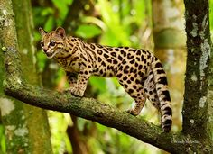 """sunwendyrain: """"Margay Cat Honduras """""""