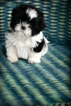 best picture ideas about shih tzu puppies - oldest dog breeds #shihtzu