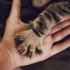 He likes to rest his hand in mine while I pet him by dawn990 cats kitten catsonweb cute adorable funny sleepy animals nature kitty cutie ca