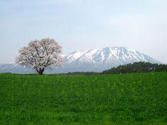 10 Famous Sakura Trees to Visit in Japan | Kyuhoshi