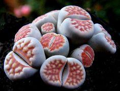 living stones (lithops)