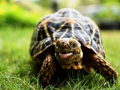 Ppppphhhhbbbbbtttt! Sometimes a tortoise just has to stick his tongue out at a silly ol' world! :)