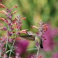 Licorice Mint Hyssop | Agastache rupestris | Sunset Hyssop | High Country Gardens