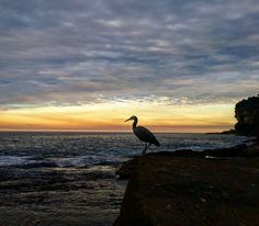 Sunset. Heron. #deewhybeach #autumm #oceanandesrth #environment #sydney #earth #nature #thenaturalworld #sunset #peace #sustainability #wildlife #birdlife Re-post by Hold With Hope